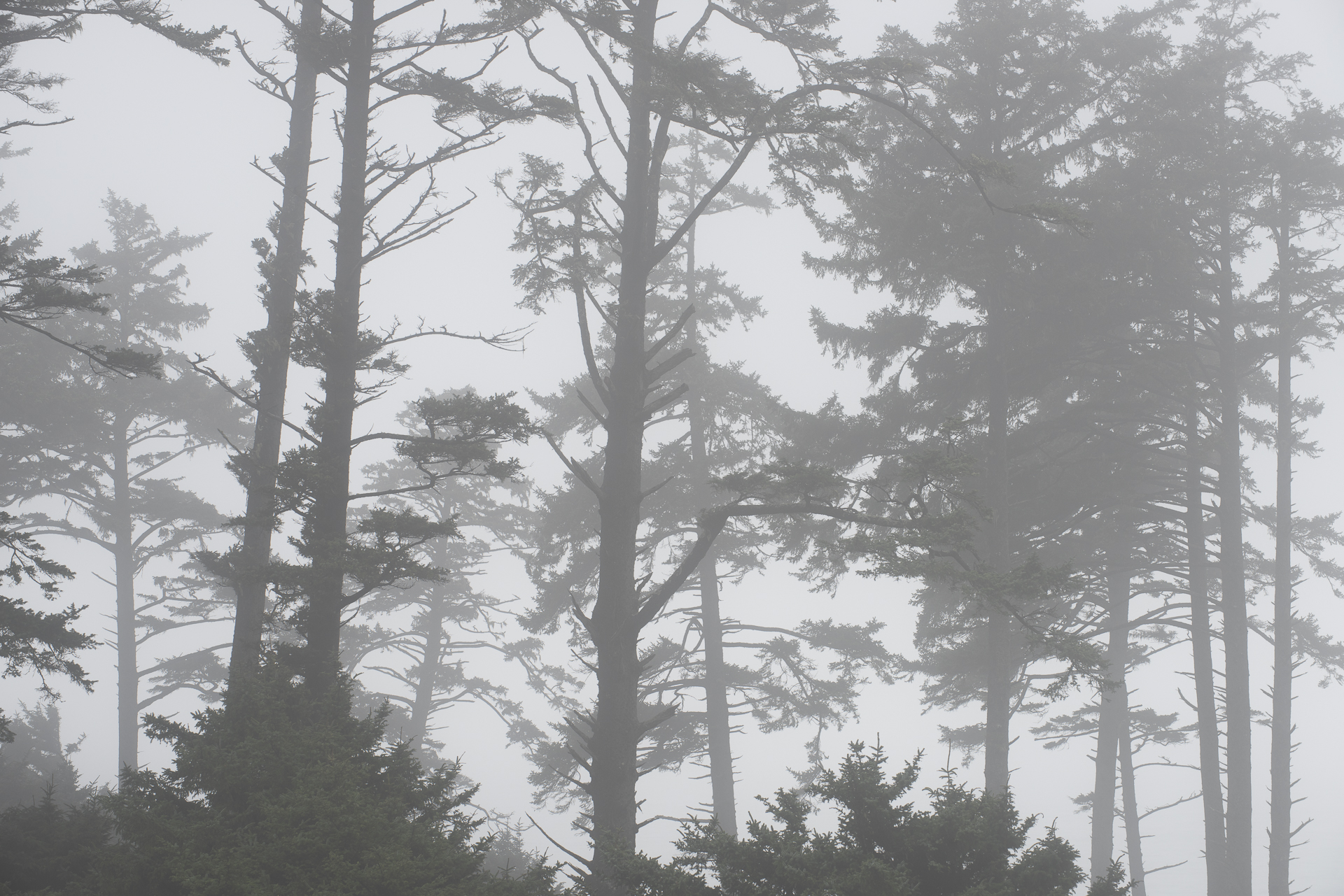 Pines in fog, Ecola SP