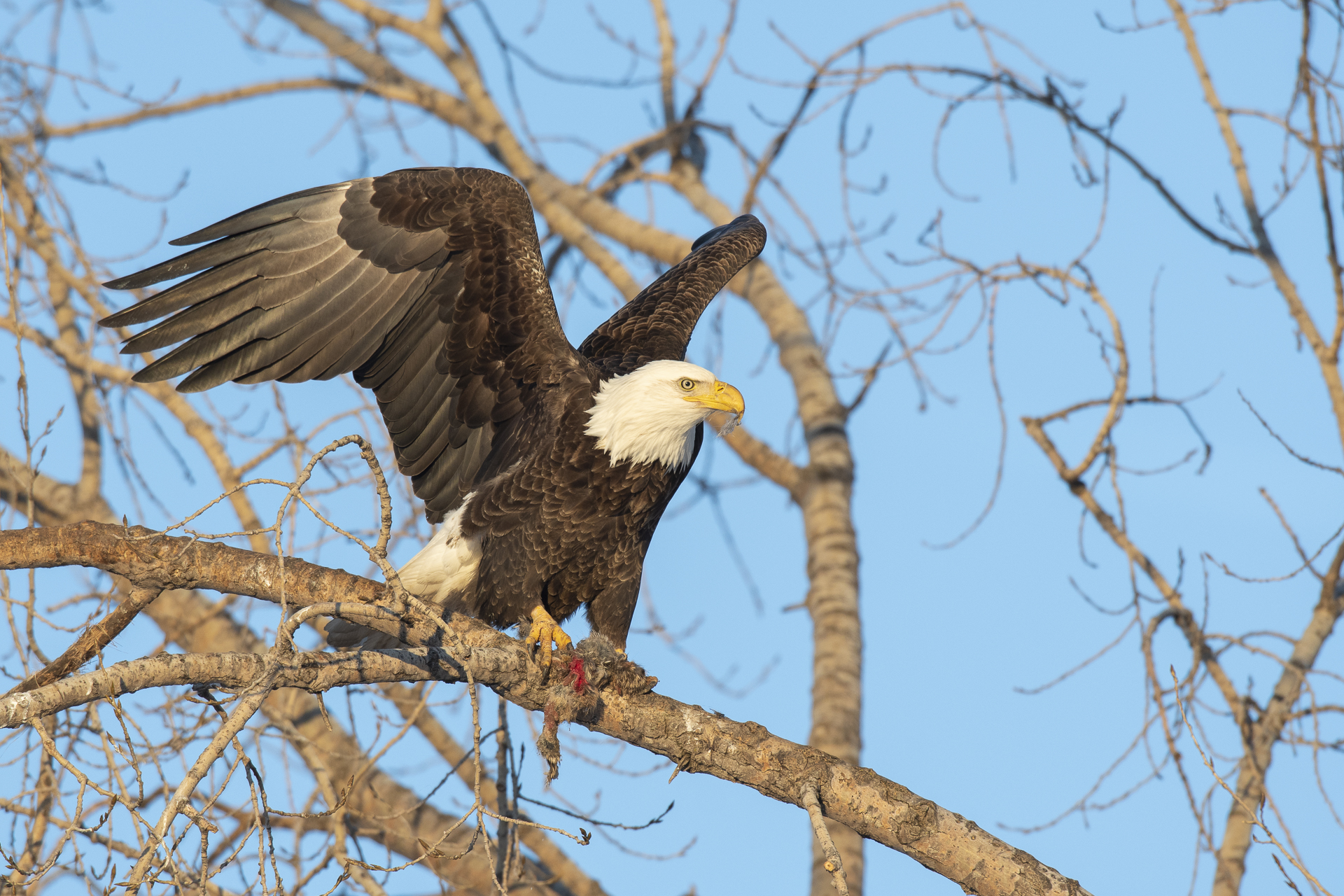 Adult bald eagle with prey