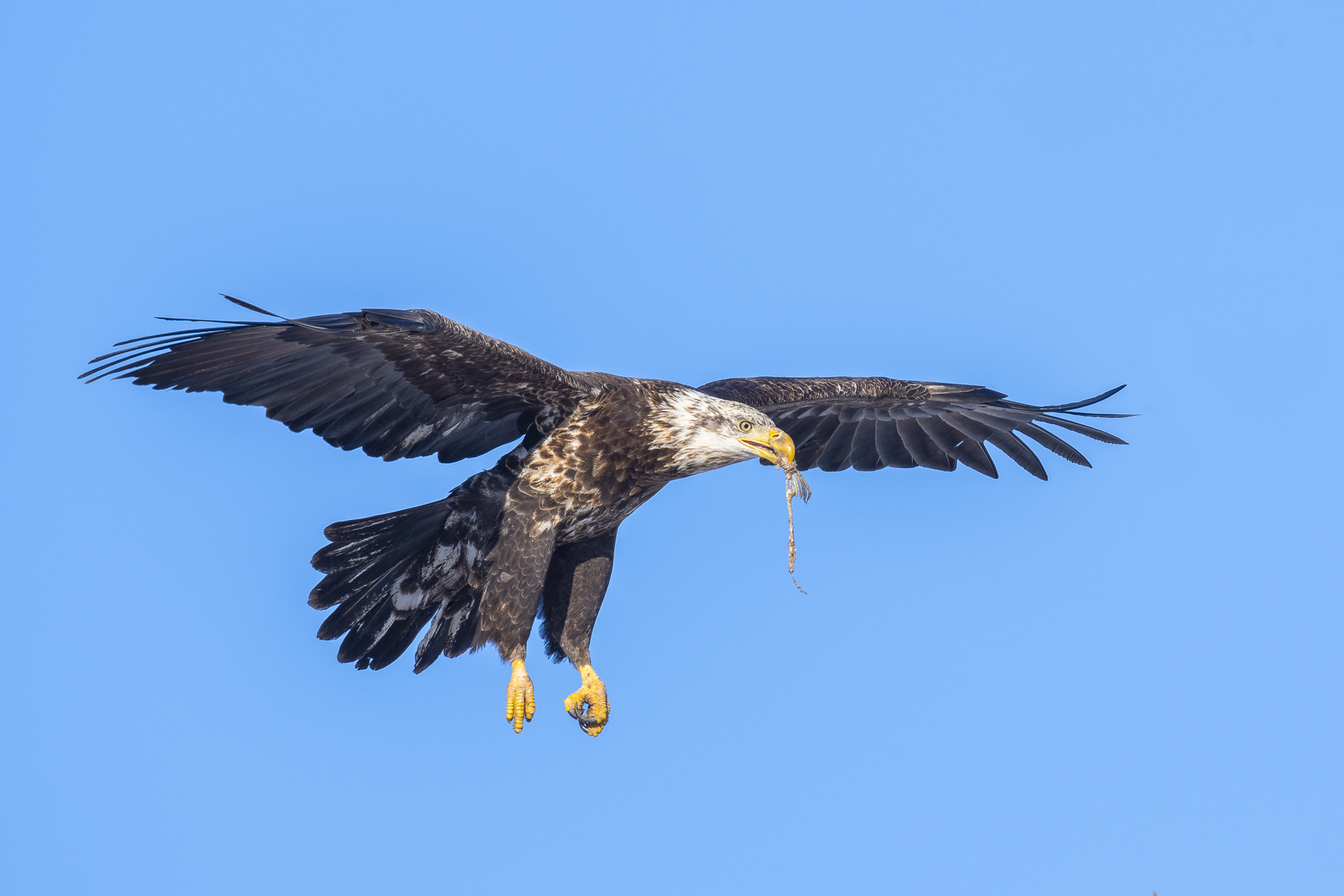 Immature bald eagle with fish remains