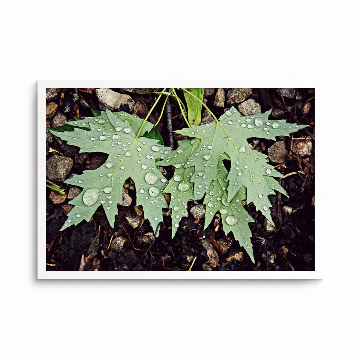 Maple Leaves/Raindrops