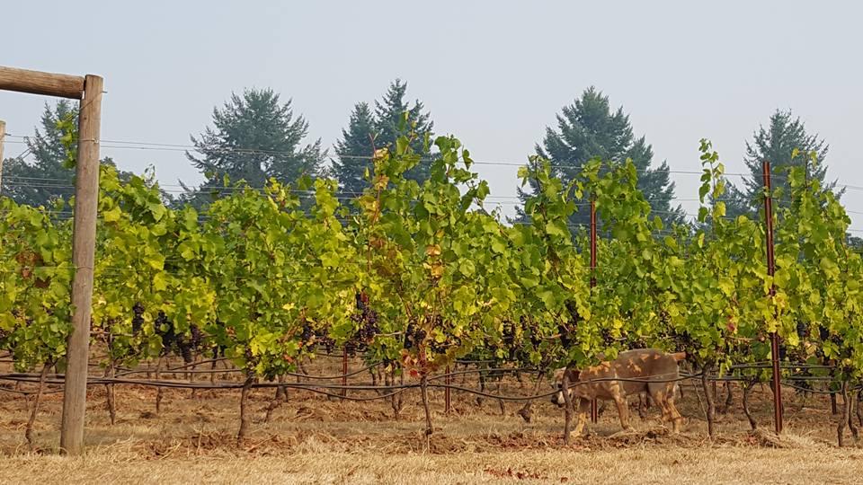I love this image. An senior Labrador surveying his vineyard.
