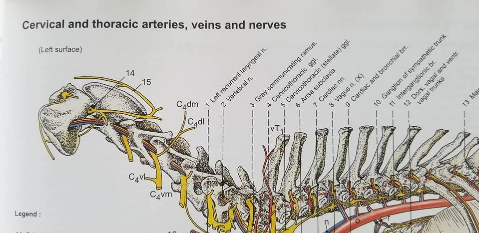 canine neck