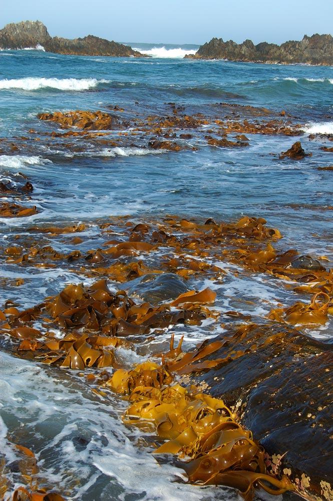 kelp18.jpg