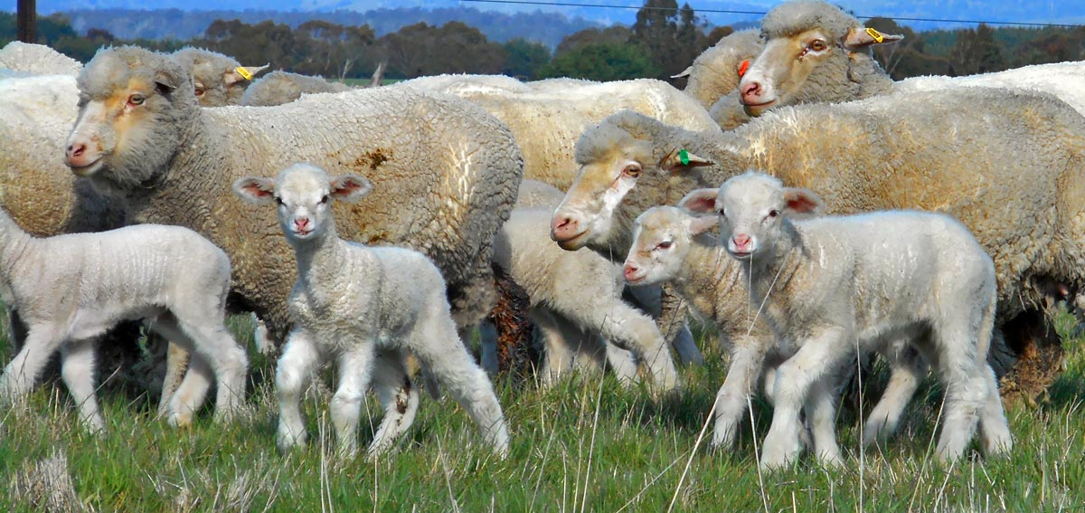 165lambs-at-foot-edit-cell-1.jpg