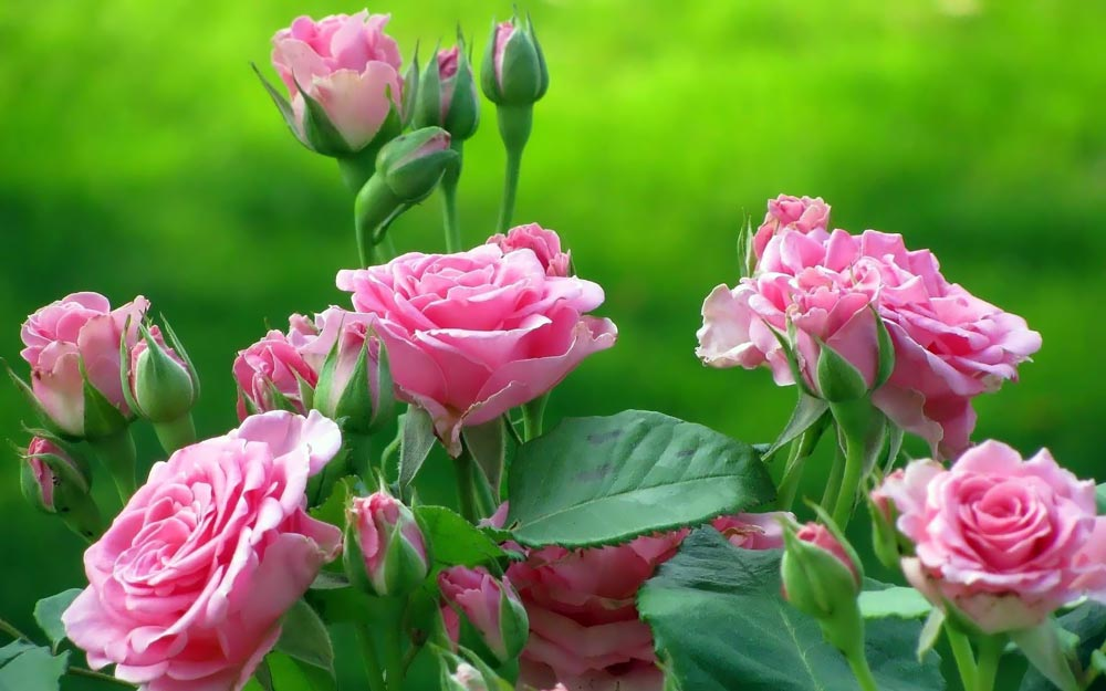 rose-flower-plants.jpg