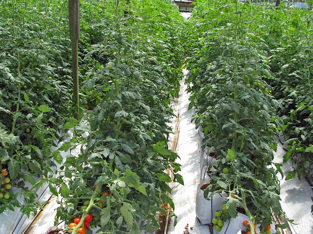Tomatos_1844.jpg