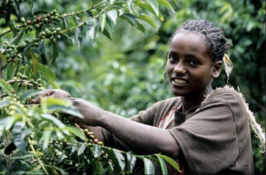 Coffee Picker, Ethiopia , Starbucks