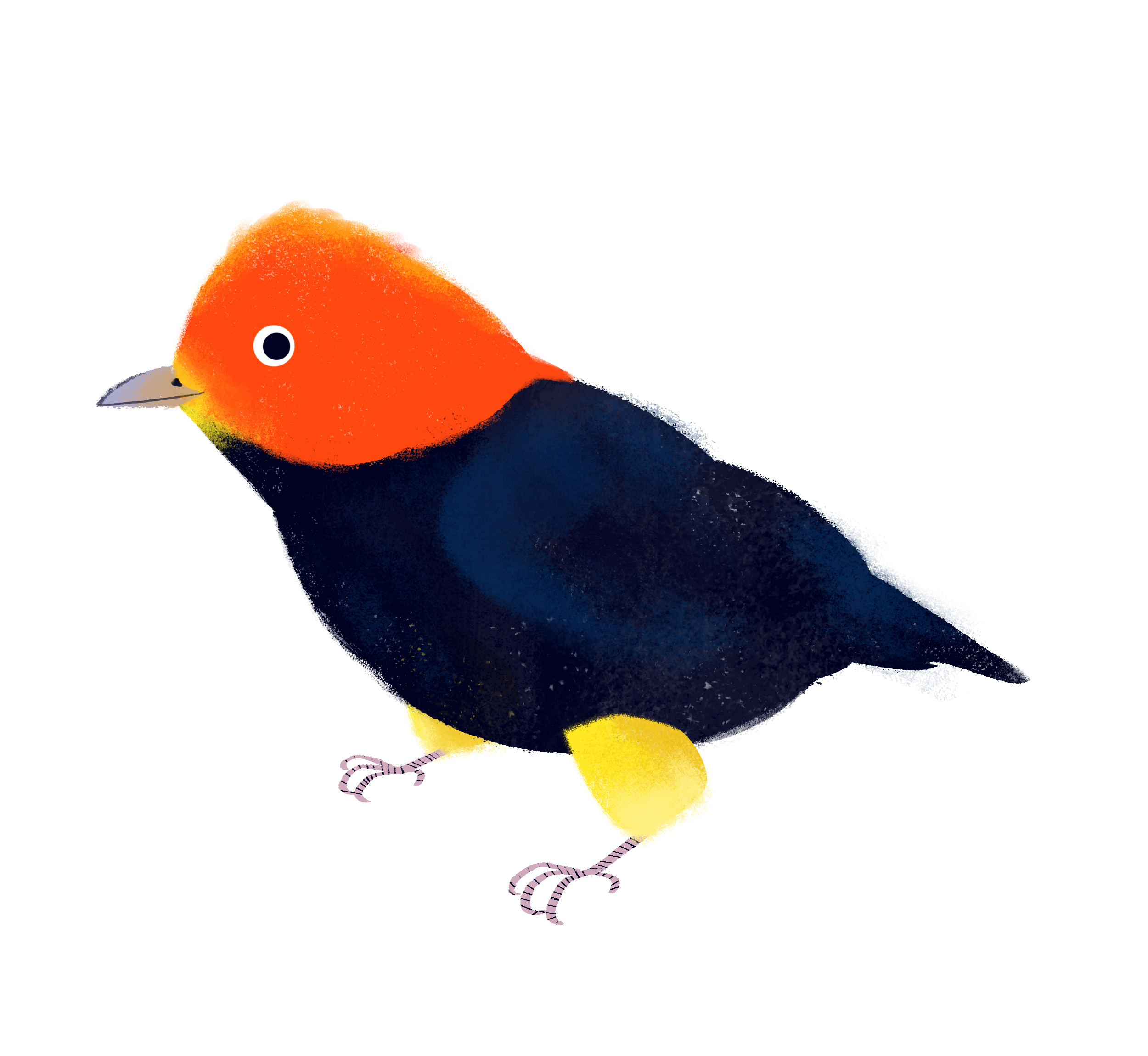 red-capped-manakin.jpg