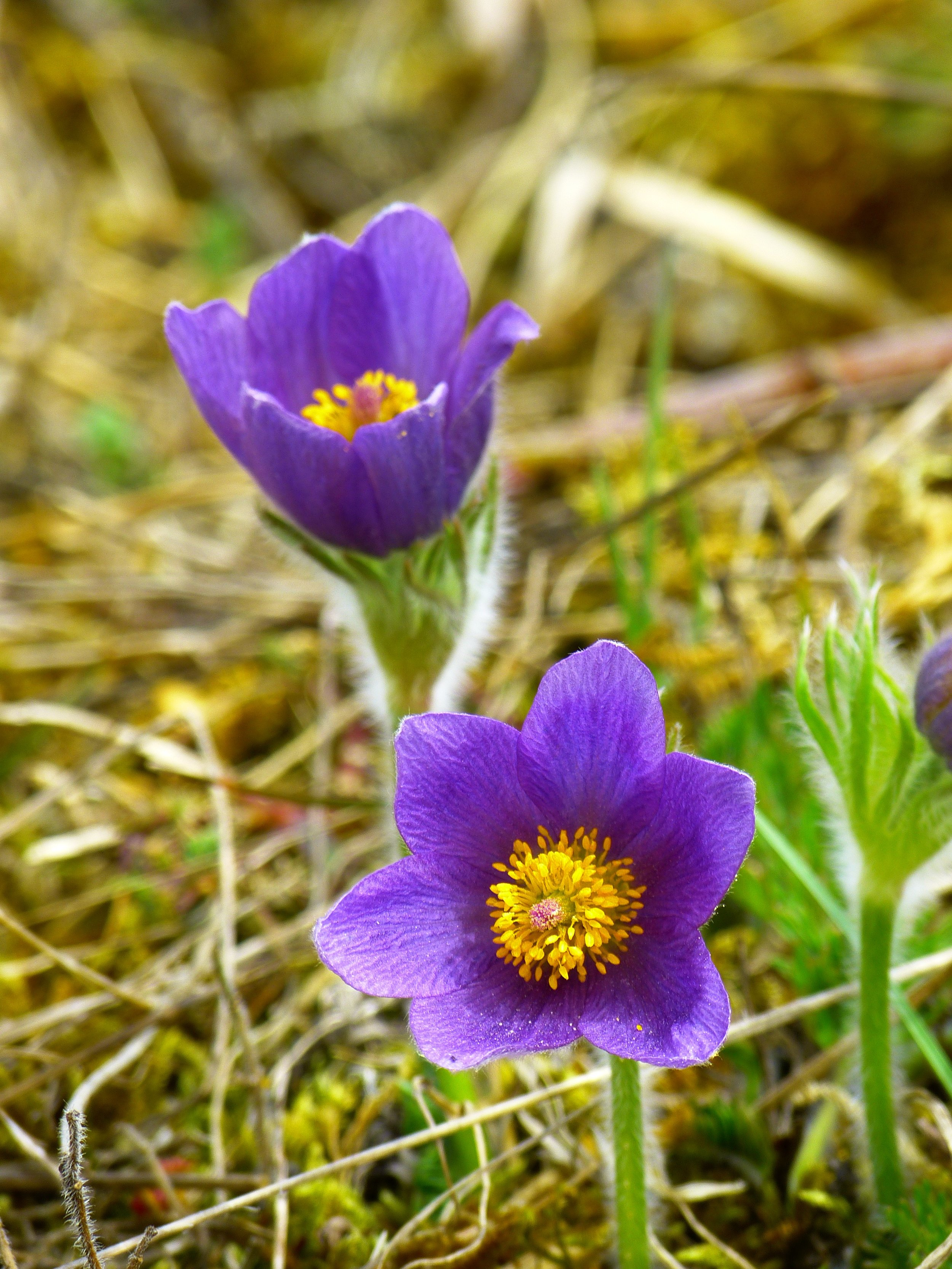 pasque-flower-blossom-bloom-flower-53532.jpg