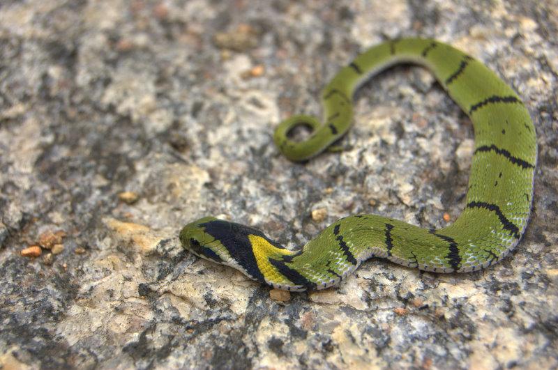 Macrophistodonplumbicolor.jpg