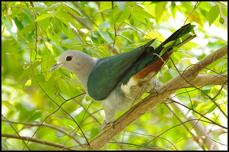 imperial_pigeon.jpg
