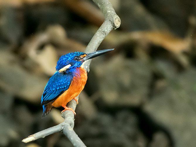 blue_eared_kingfisher.jpg
