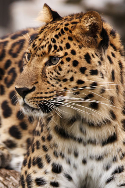 Save the Rainforest Leopard - Become a rainforest protector
