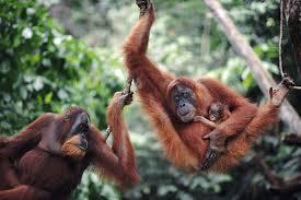 Leuser is the last stand for the Sumatra Orangutan.