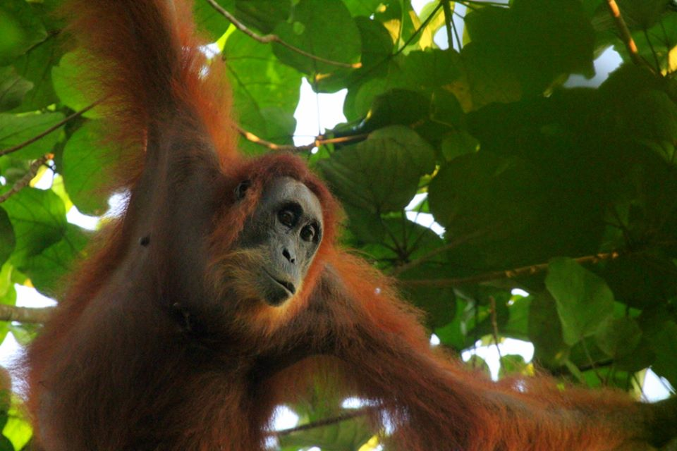 A sumatran Orangutan going through a newly restored forest Leuser Ecosystem, Indonesia