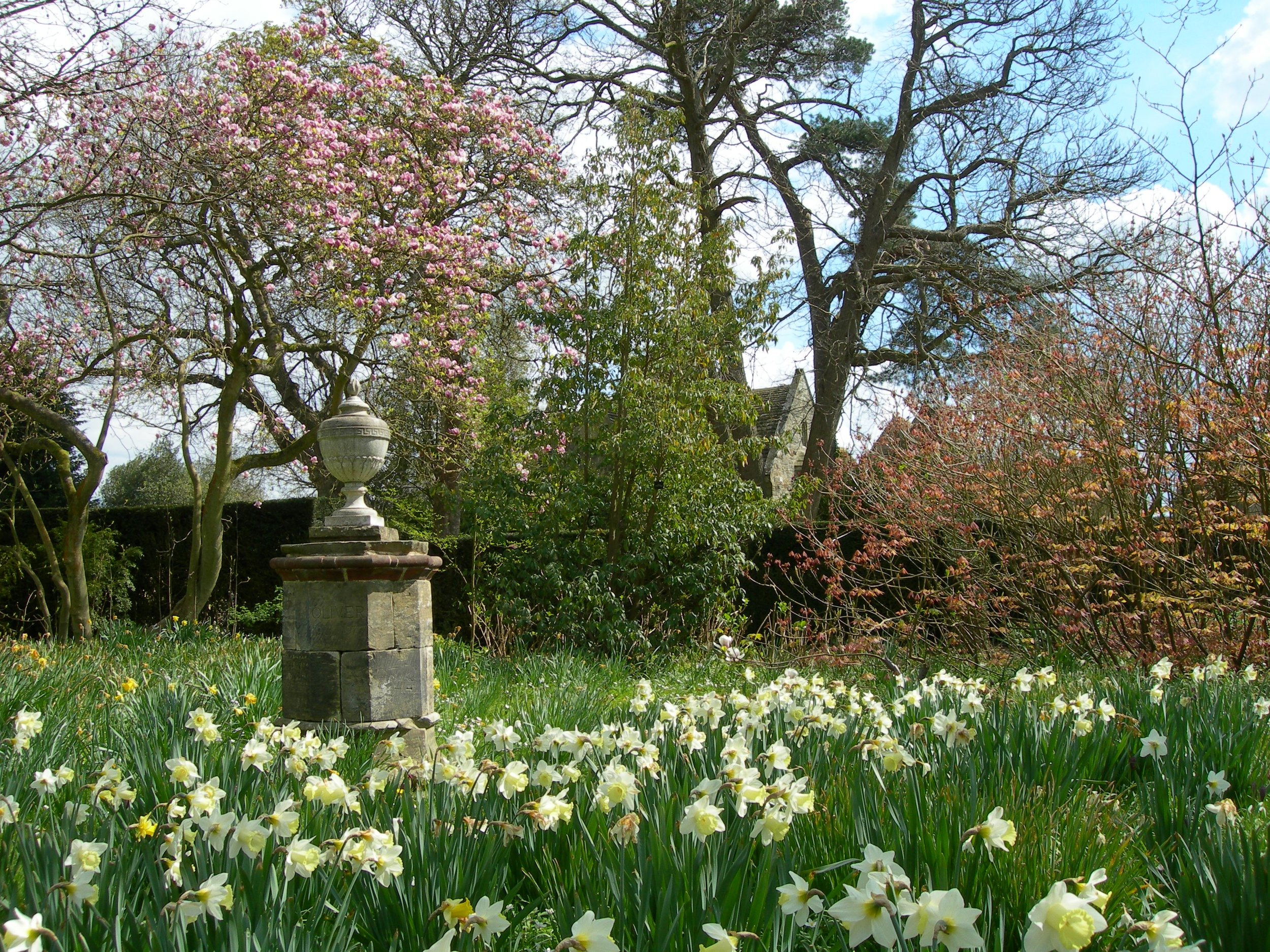 Daffodils at Nymans near Oliver Messel's urn