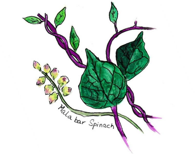 Illustration of the Climbing Malabar Spinach