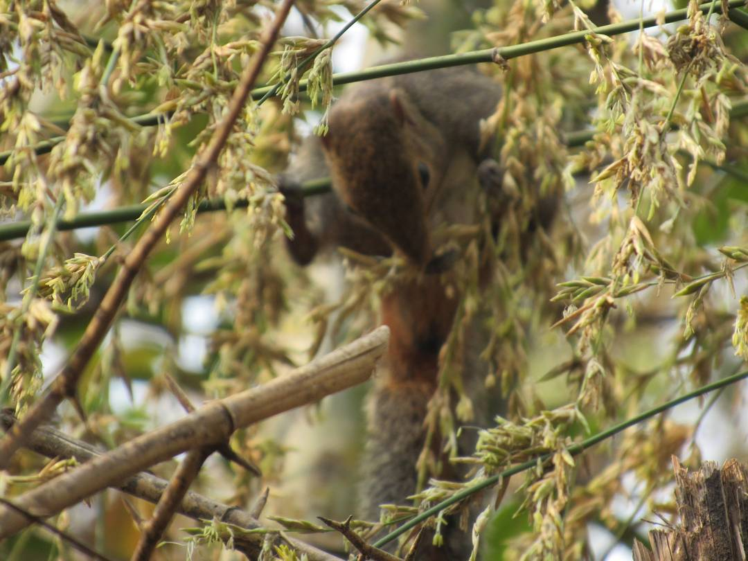 A jungle-striped squirrel busy eating bamboo flowers, in the western ghats of Maharashtra.