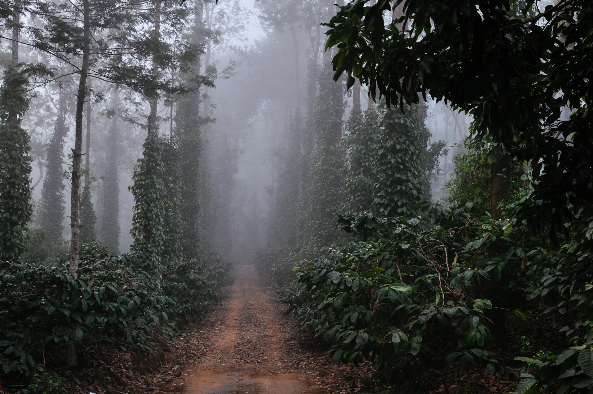 At Nellikad Estate in Pollybetta, Coorg.