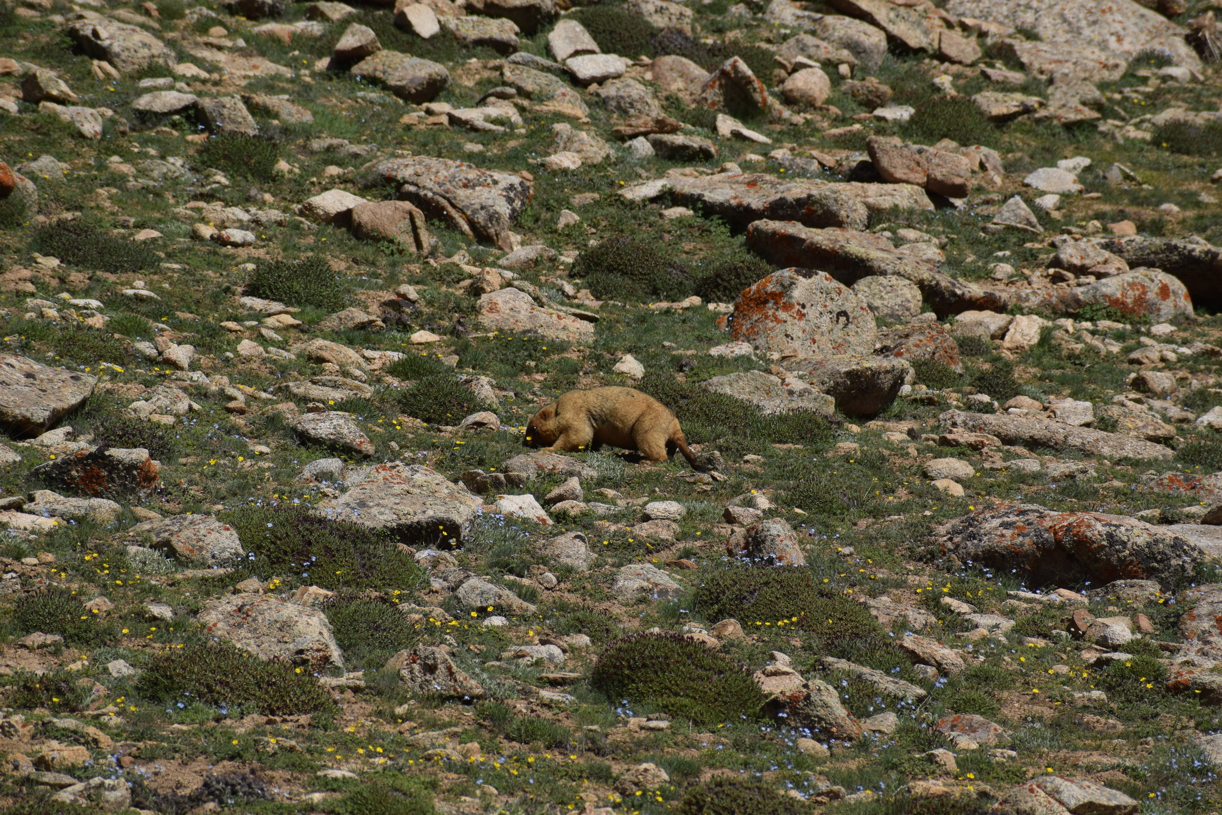 The Himalayan marmot eating wildflowers.