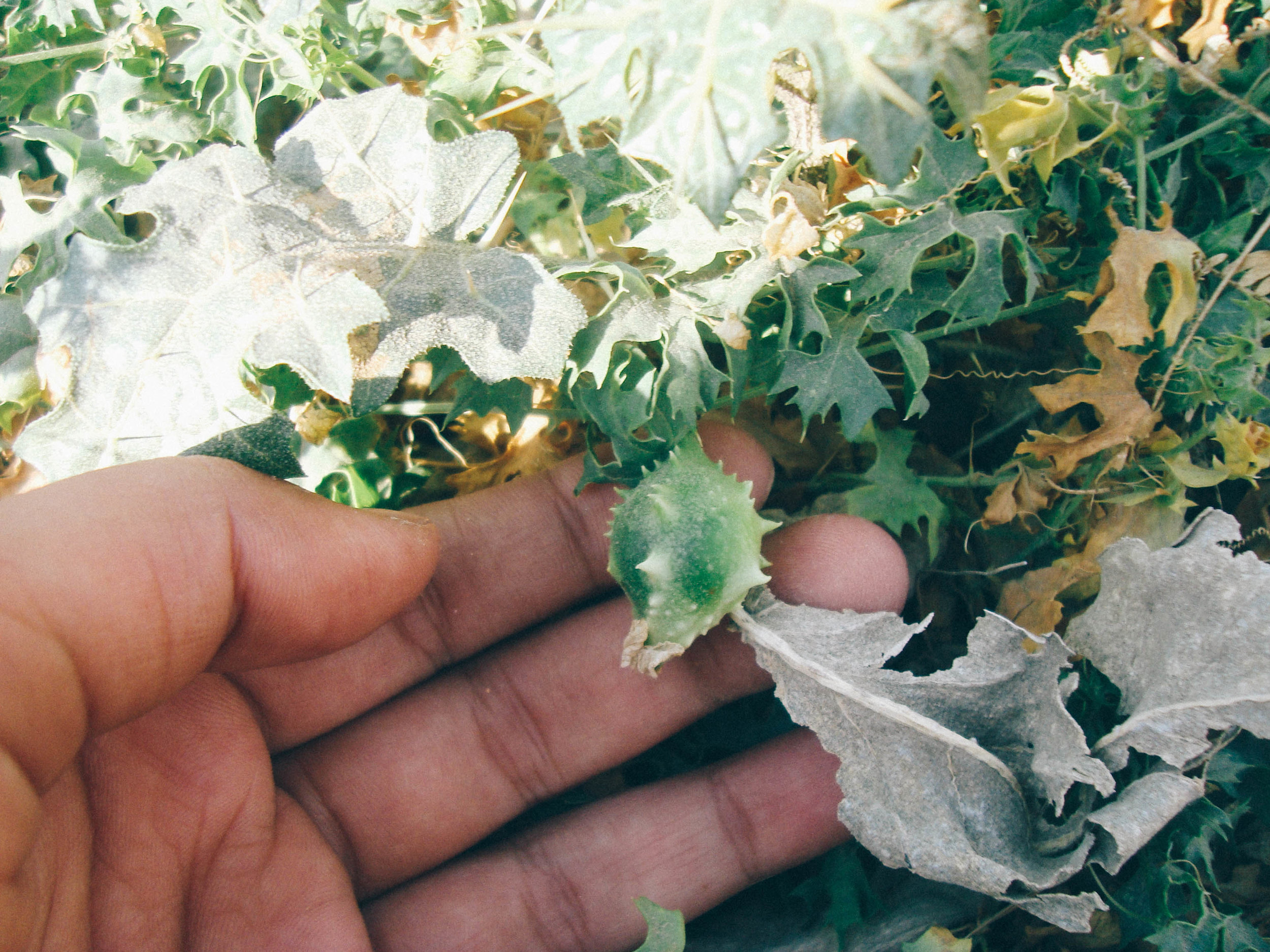 Wild Bitter Gourd (Jungli Karela) found in Kutch