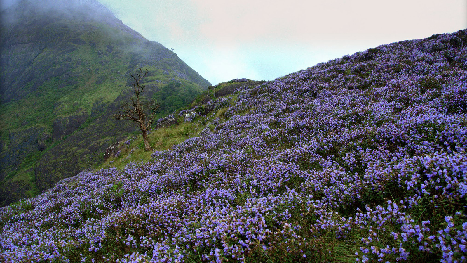 The Neelakurinji flower in bloom in the Western Ghats Image credit: Muralikrishnan B