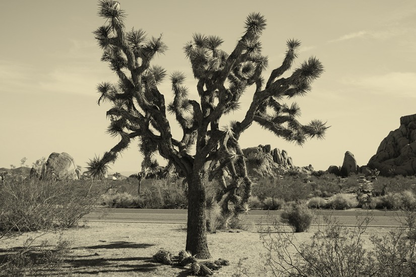 joshua-tree-002.jpg