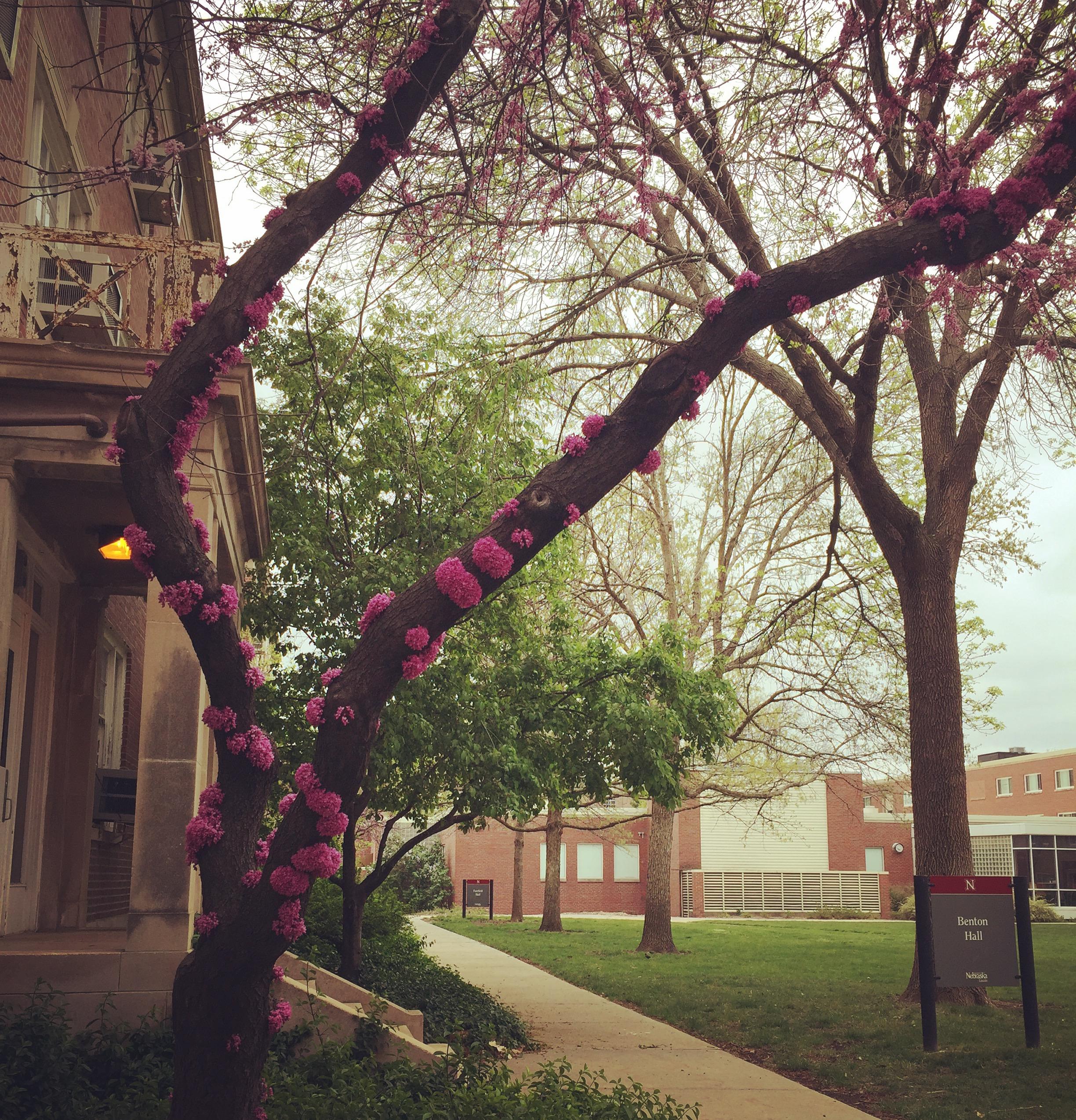 Eastern Redbud Tree, UNL Campus