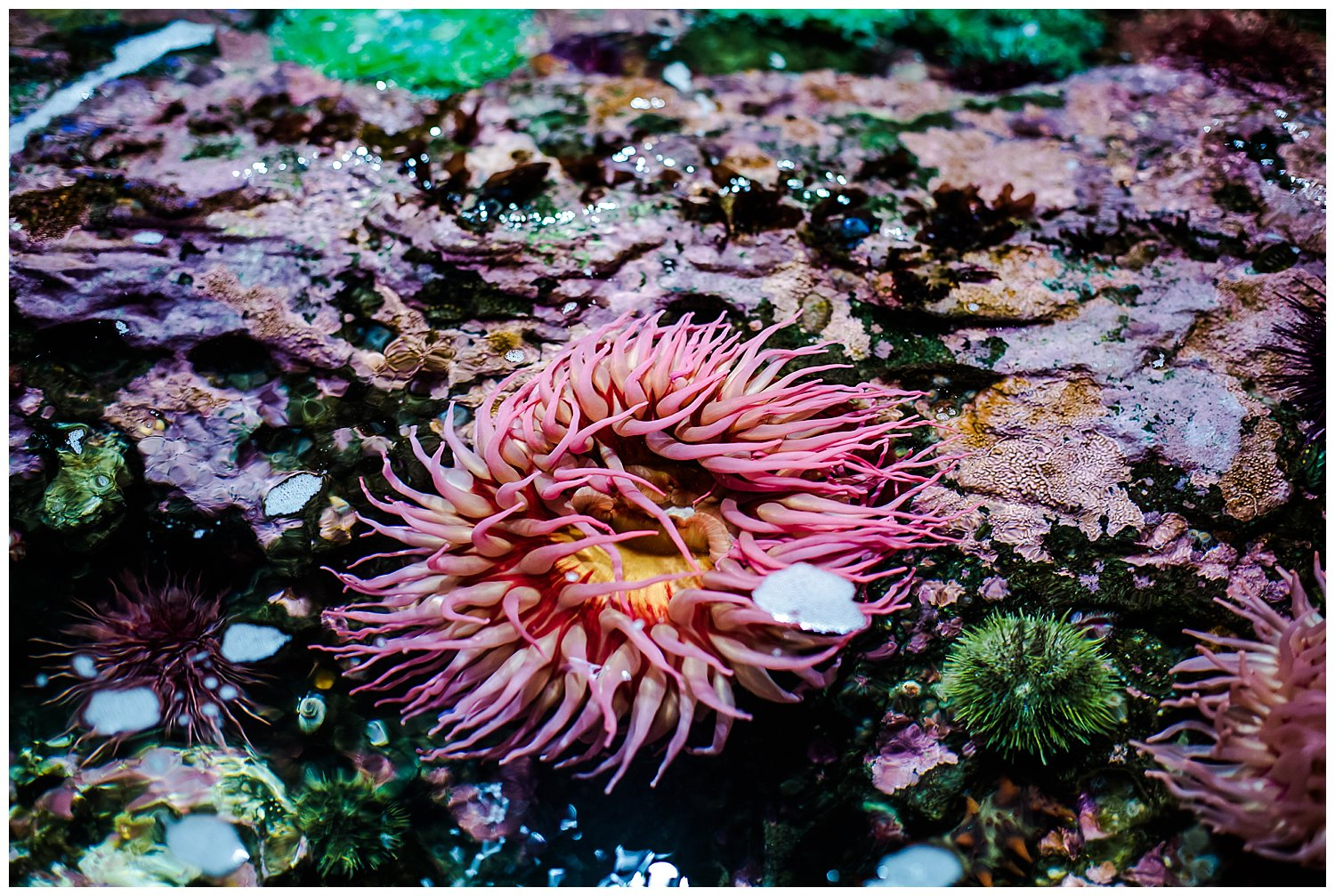 tide pool aquarium pink