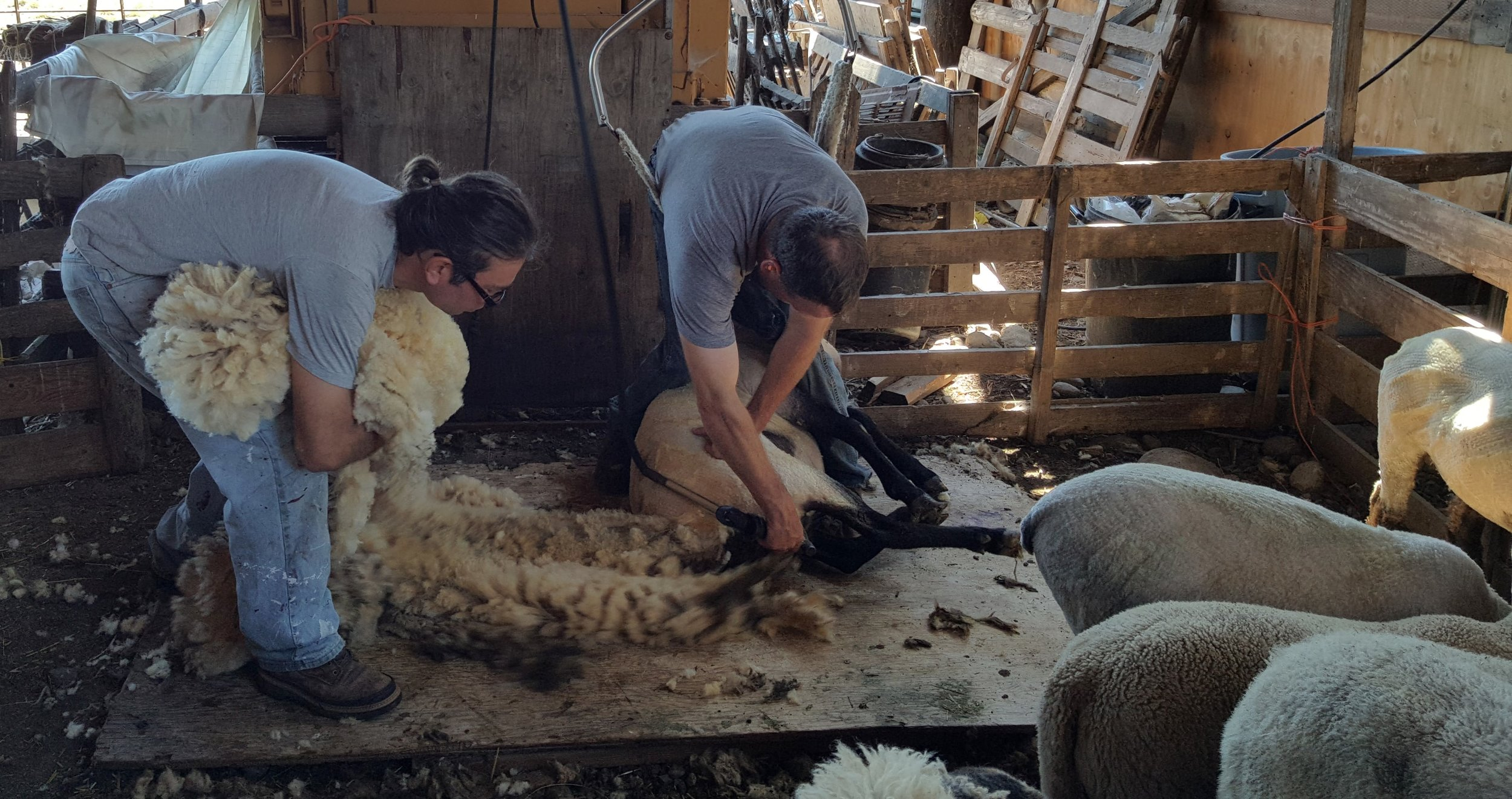 Shearing with Bill Reiser and getting help from our son, Nils Dunder, who is stuffing wool in the wool bag.