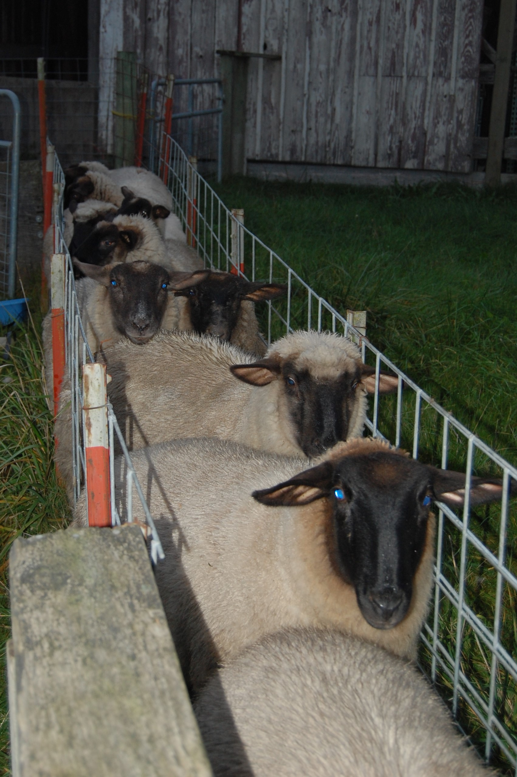 Working area for sheep.