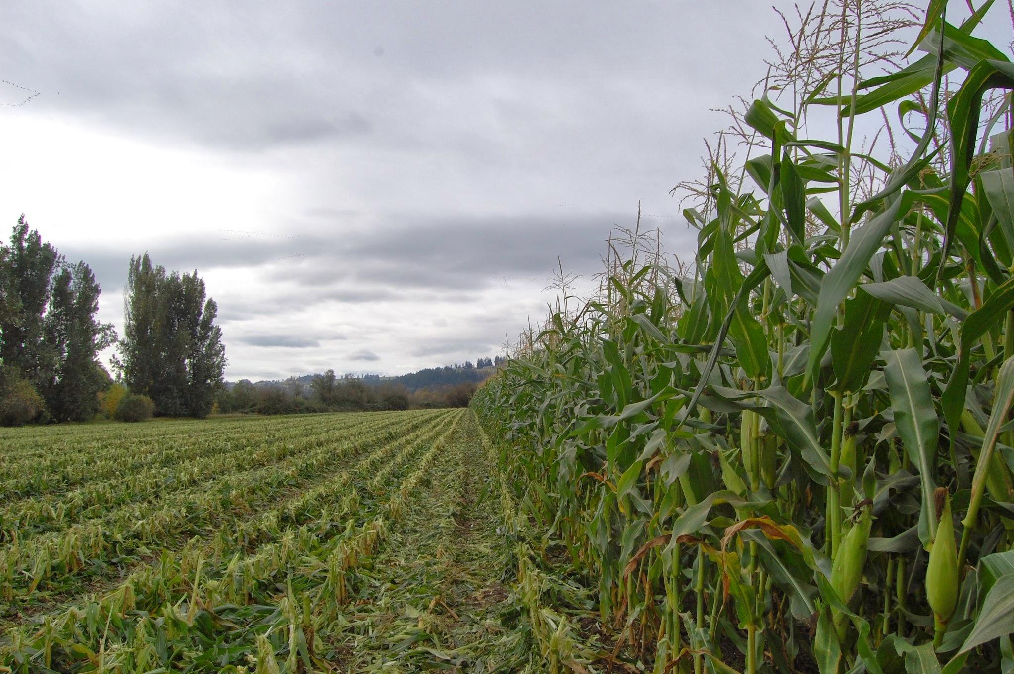 Sweet corn in northwest field.