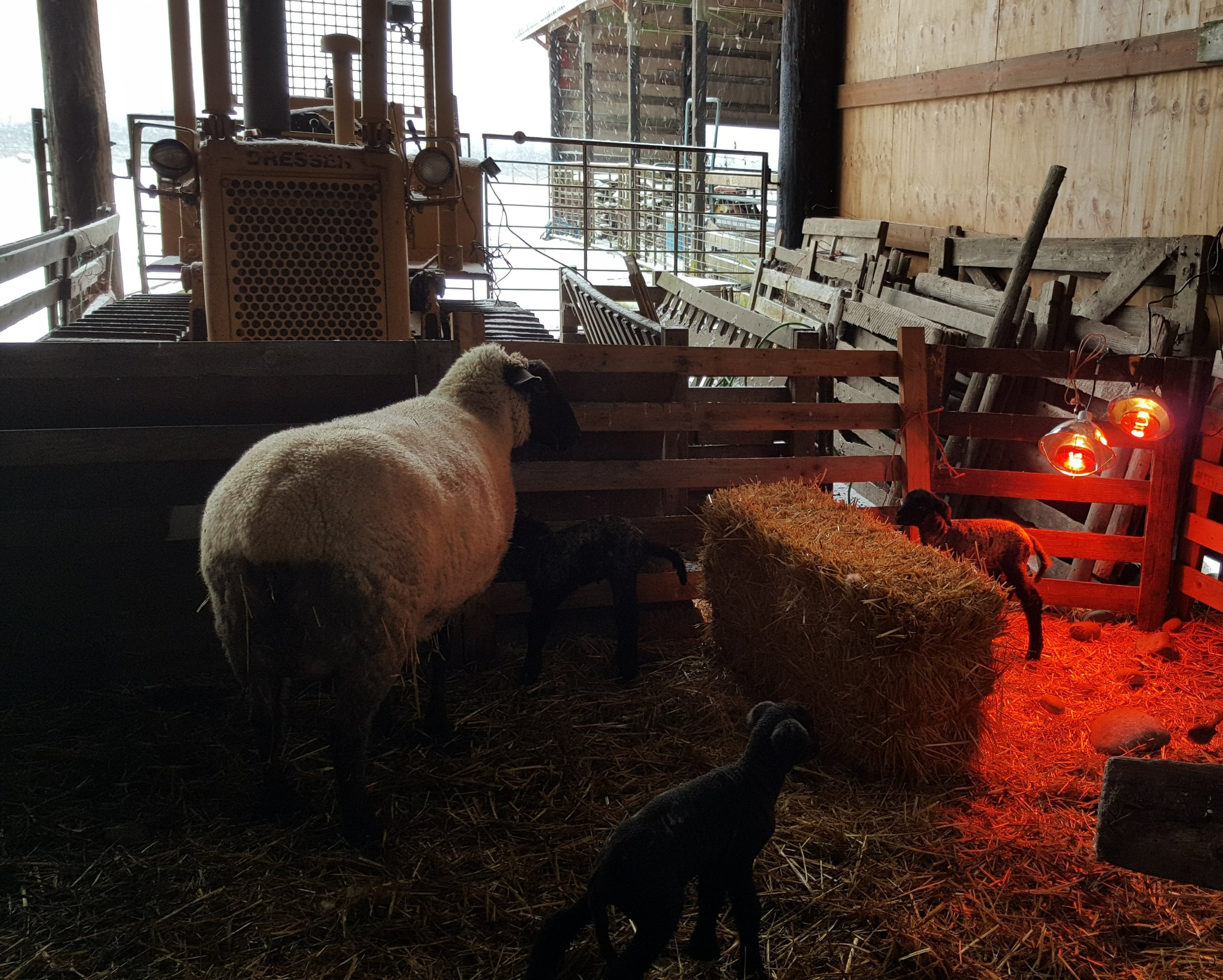 2017 brought frigid temperatures for two weeks. Here we are using a heat lamp to keep triplets warm after birth.