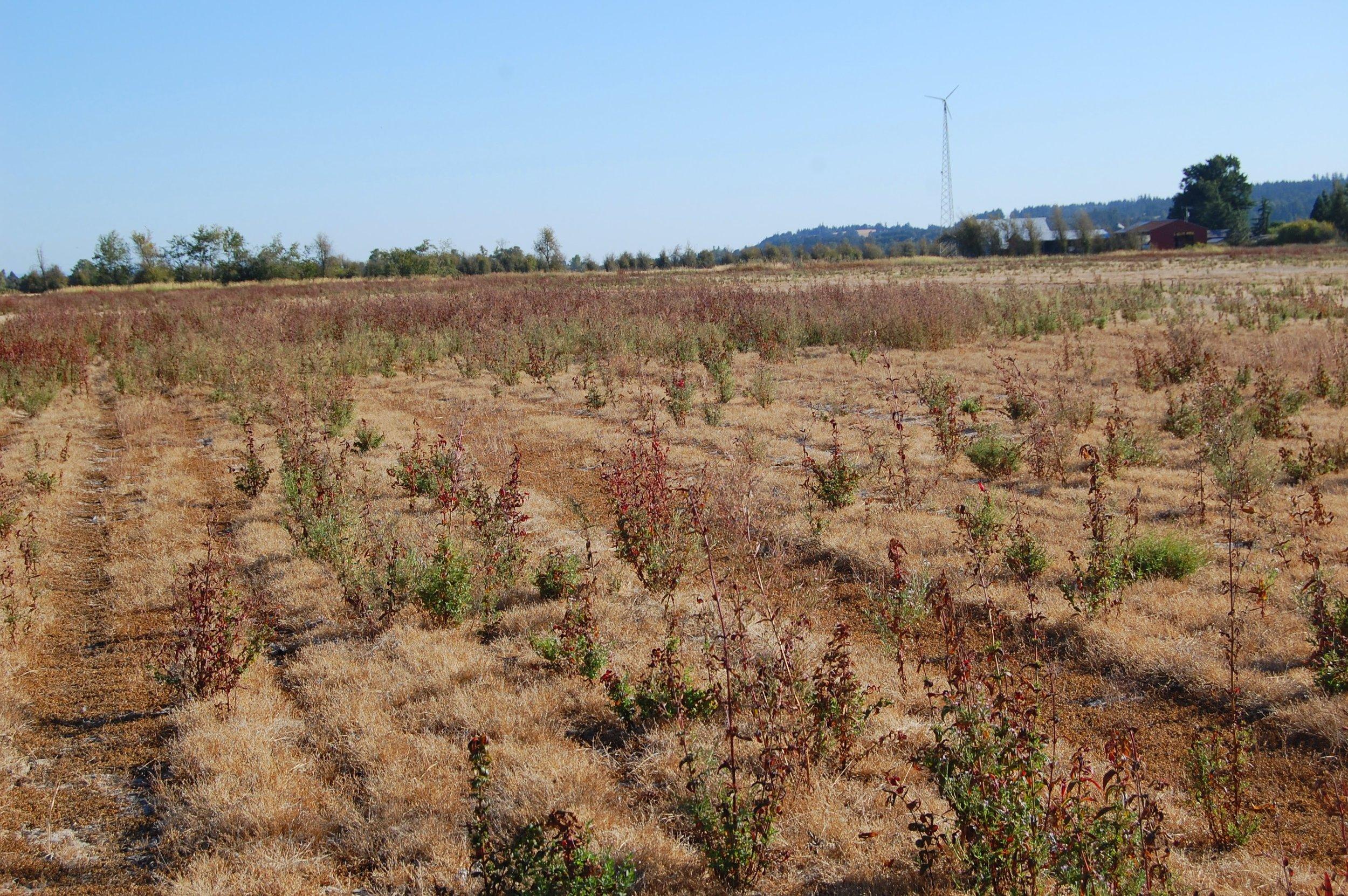 NE corner field. Non-native vegetation.