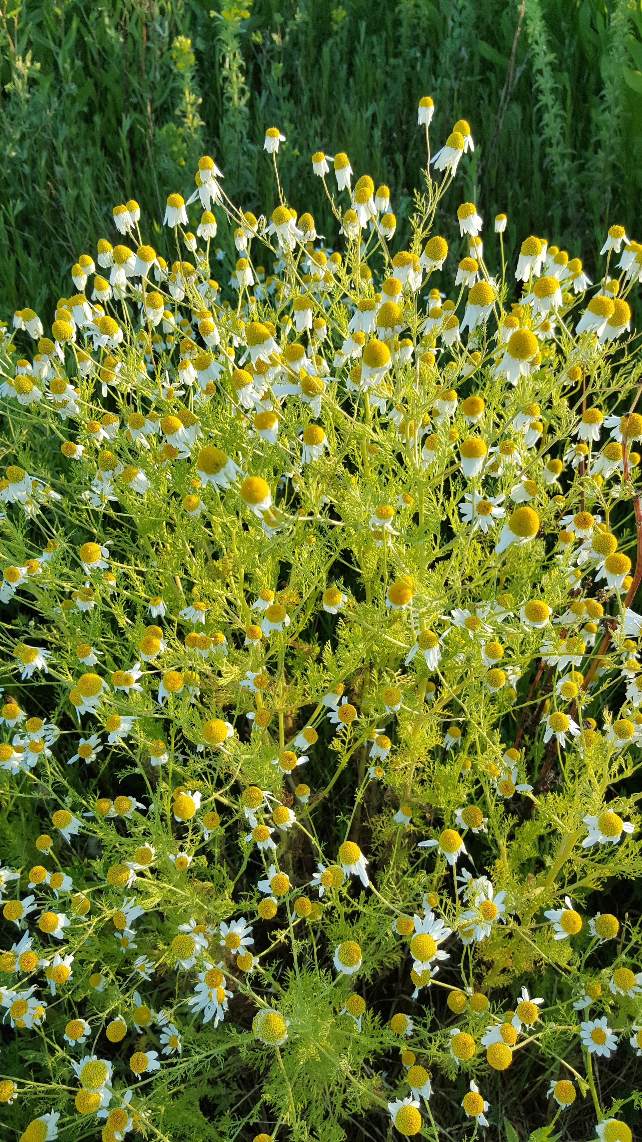 Stinking chamomile, ( Anthemis cotula ), introduced species from Eurasia