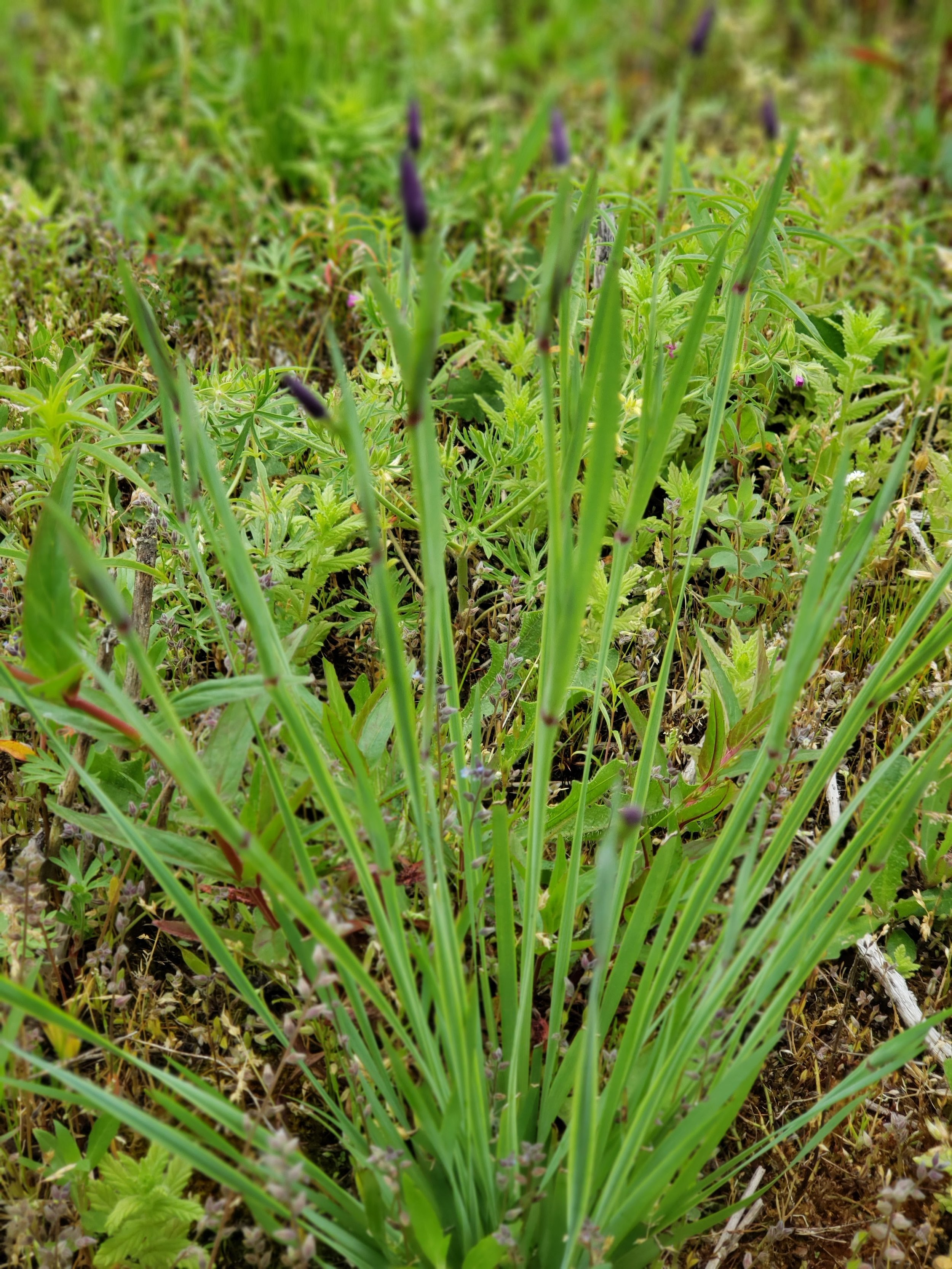 Narrow-leaf blue-eye grass, ( Sisyrinchium idahoense )