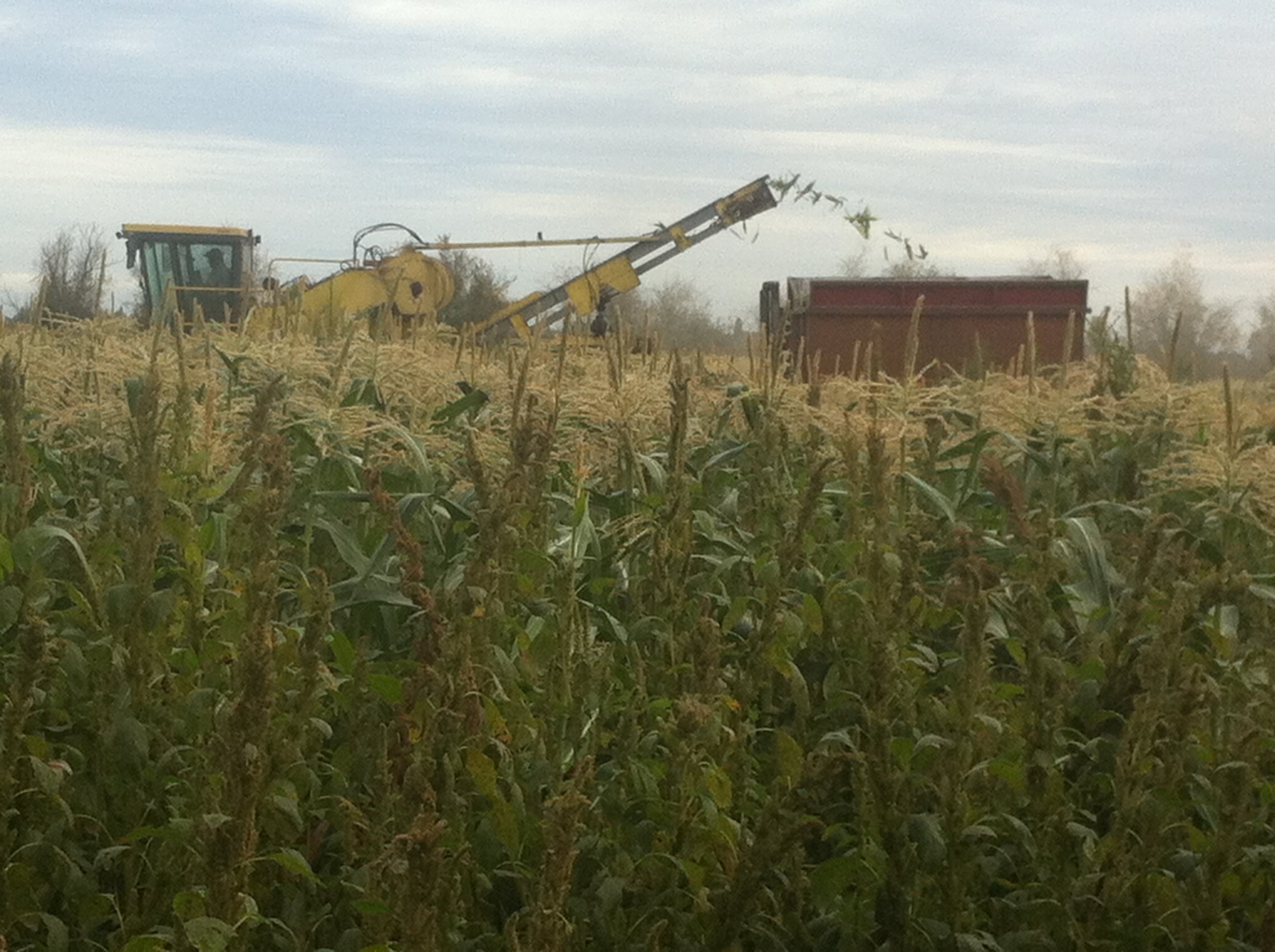 2015, harvesting certified organic sweet corn.