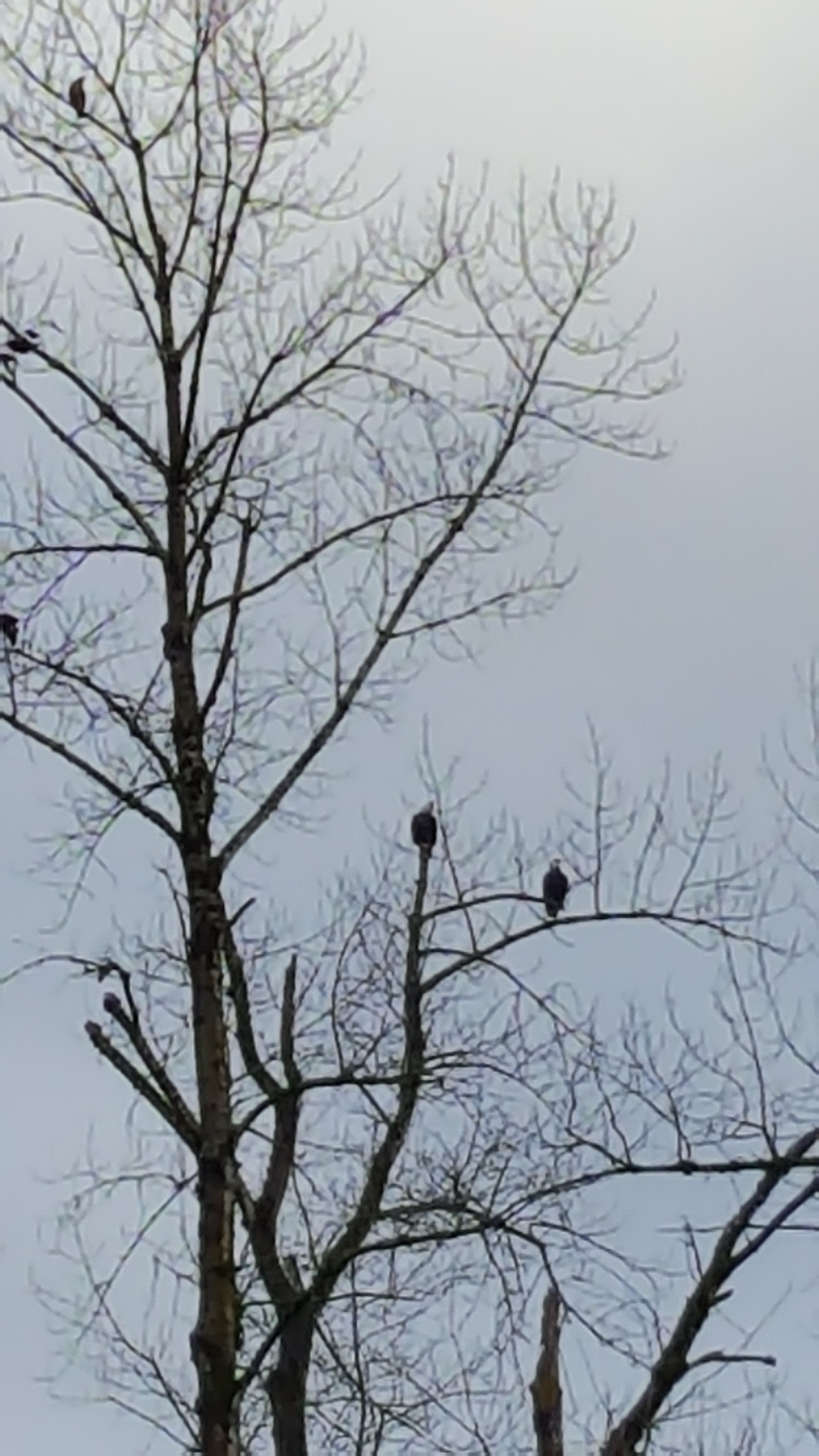 Bald eagles find winter home at Santiam Valley Ranch.  Geese are a primary target.