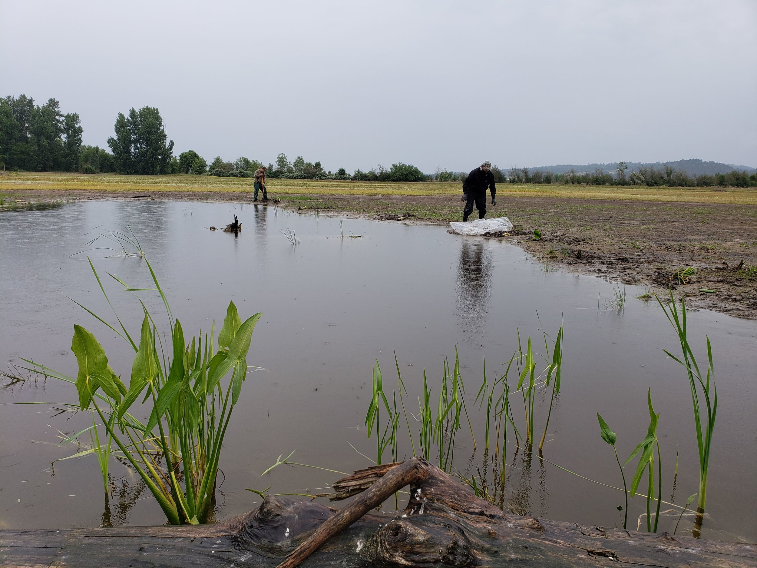 Planting aquatic plants in north pond with Wapato emerging.