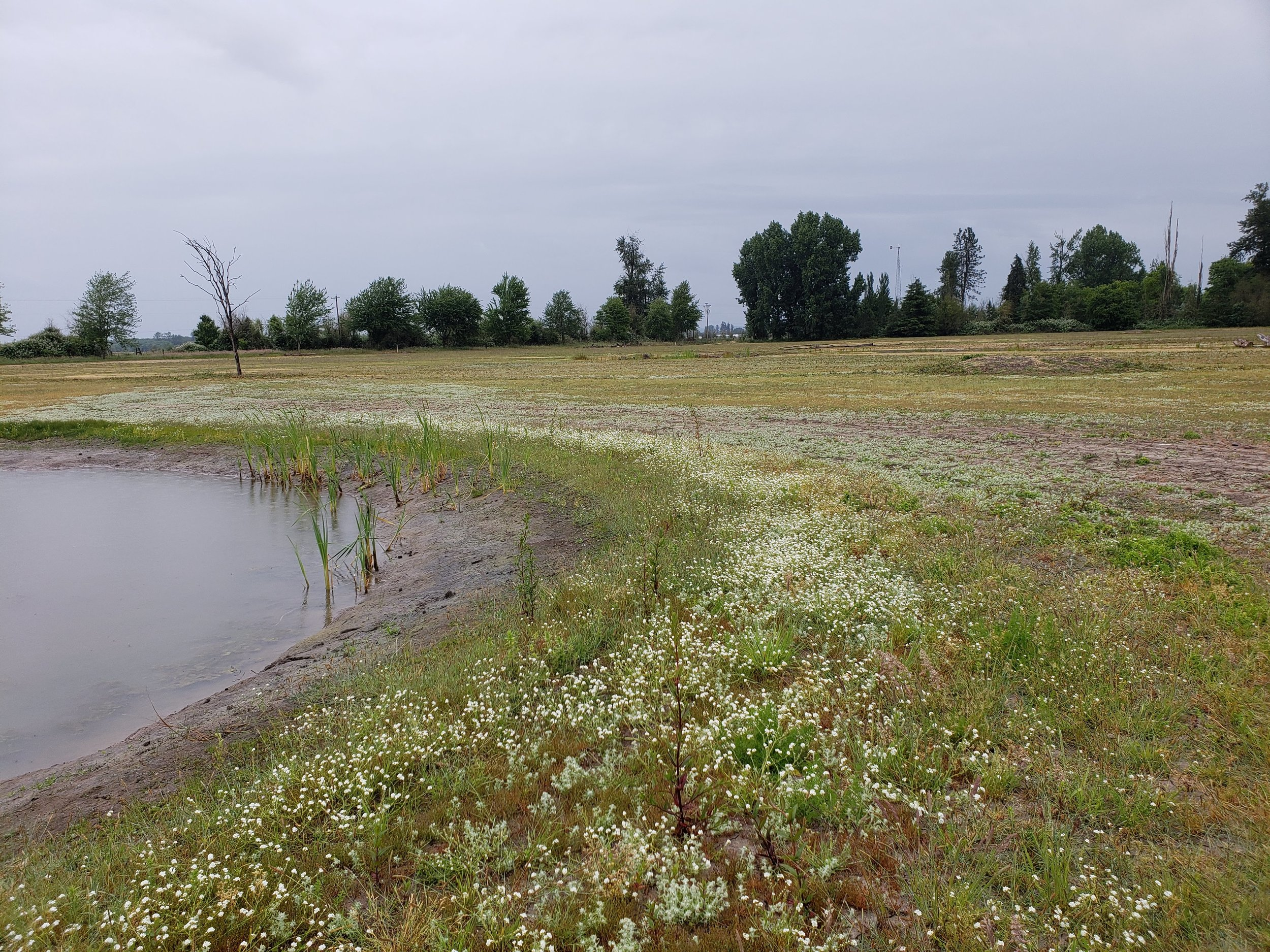 Native Wetland Medium to Shallow Water Mix was planted in late fall of 2017.  In 2018, you can see the border around the ponds.