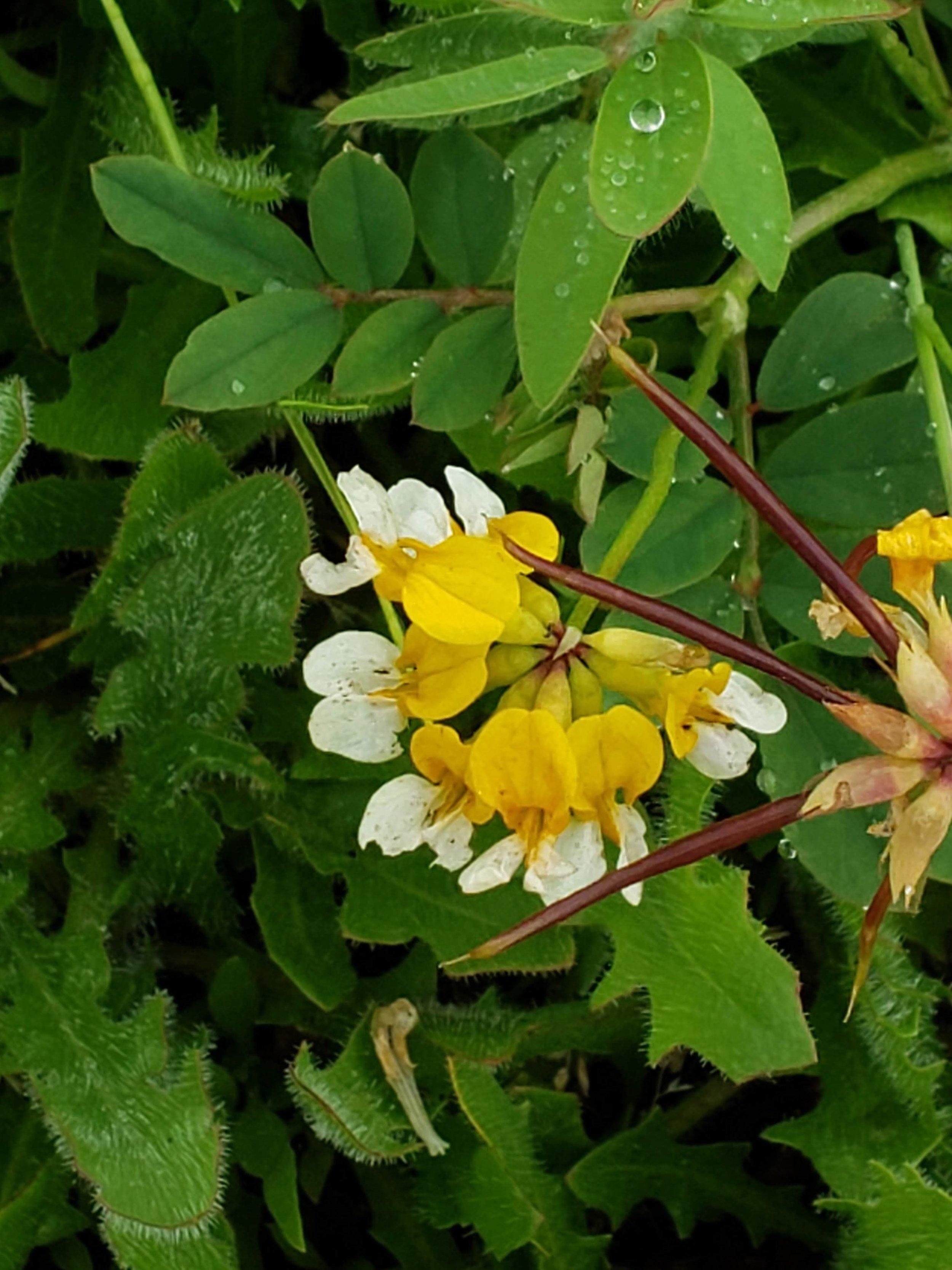 Bog birds-foot trefoil or Meadow deervetch ( Lotus pinnatus )