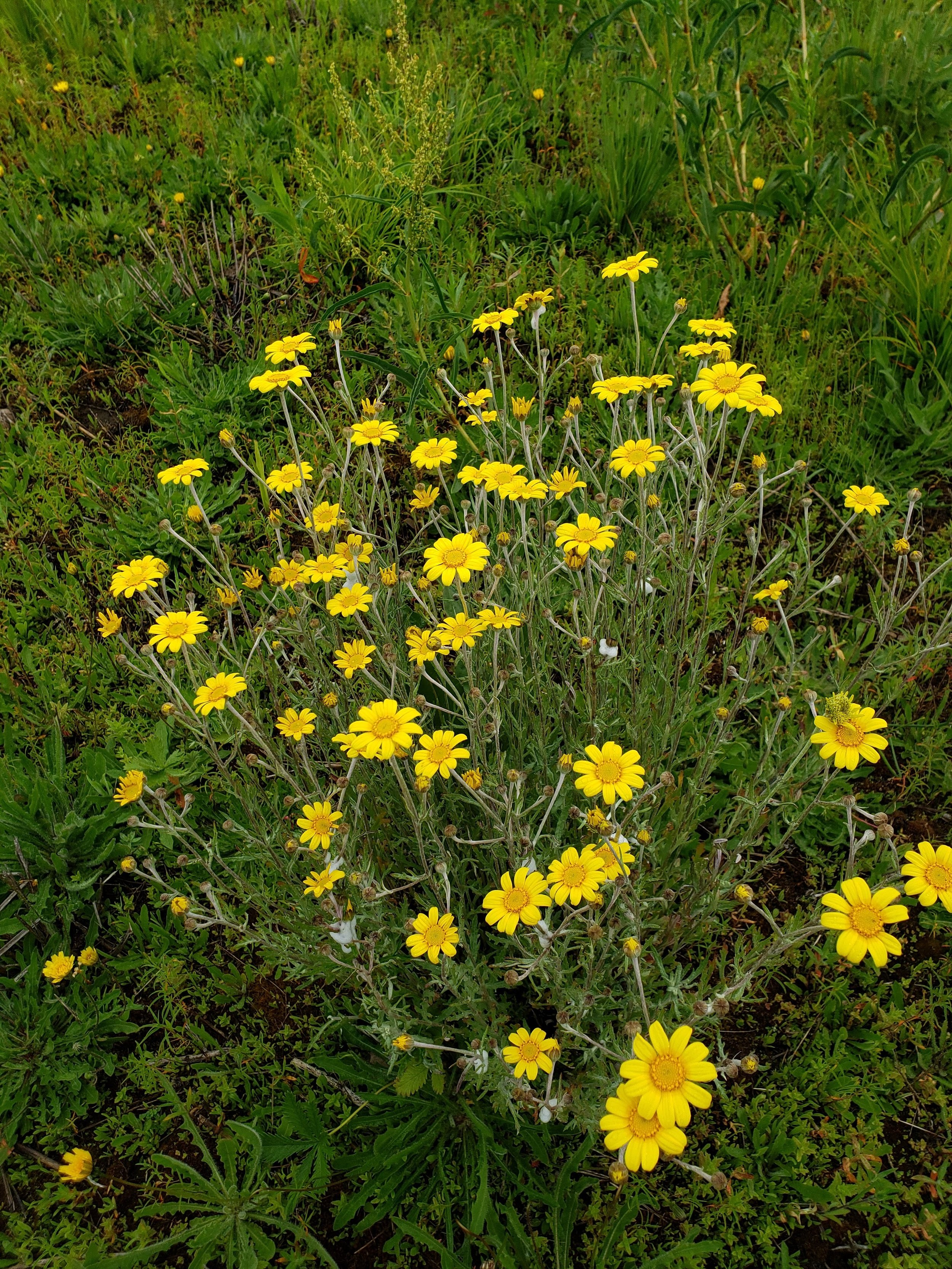 Oregon sunshine ( Eriophyllum lanatum )