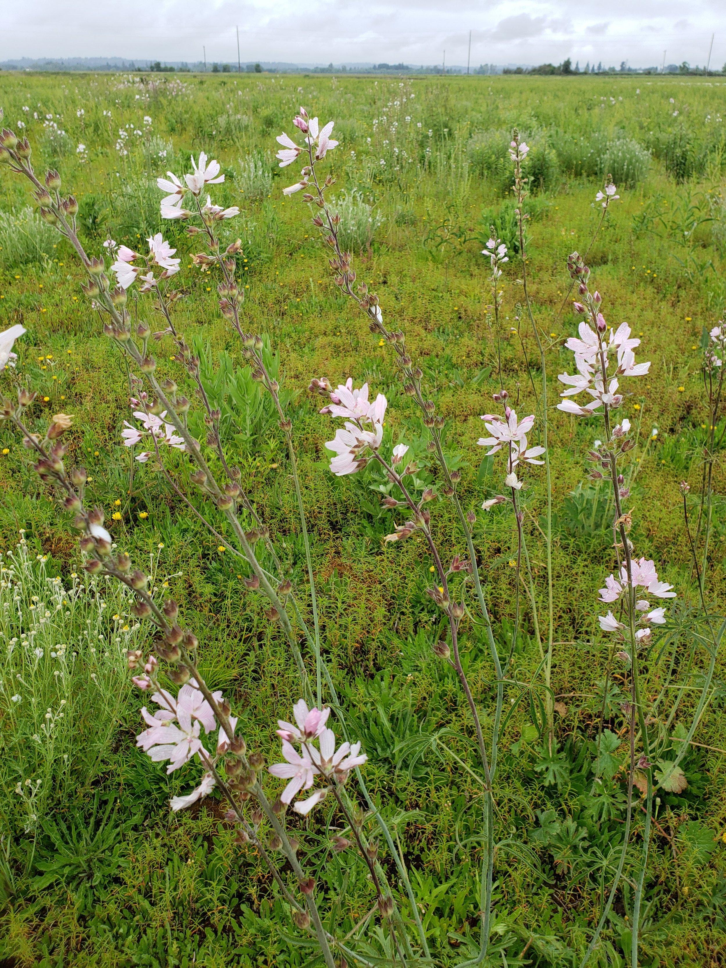 Meadow checkermallow ( Sidalcea campestris )
