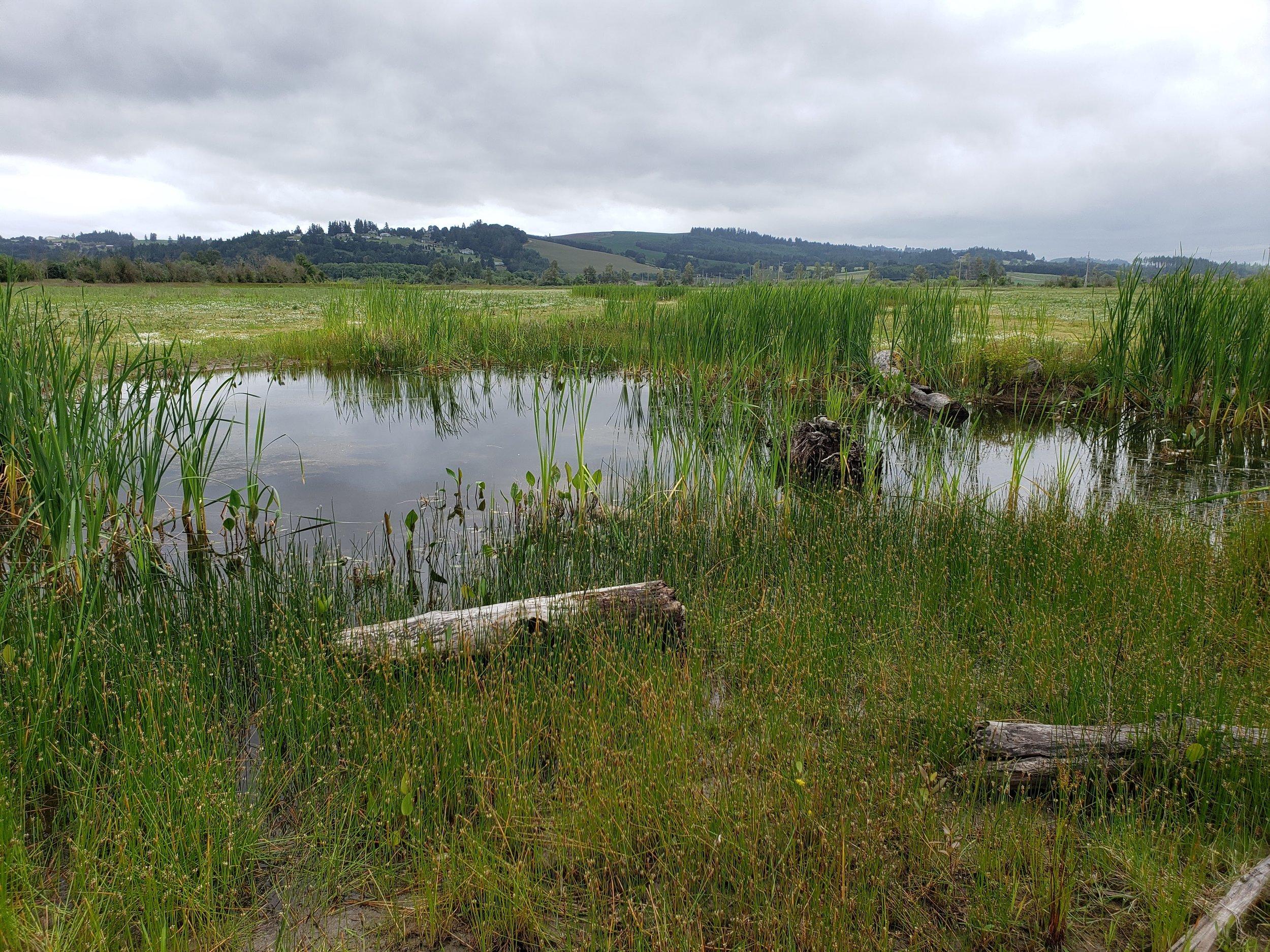 Turtle ponds getting established.