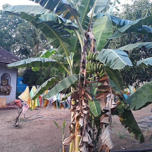 When we are cleaning the rice and spice sacks, we collect and filter the water we are using and give it back to the plants in the garden. Looking forward to taste our first organic Rice&Carry bananas!!! #organic#permaculture#circulareconomy#banana#socialenterprise#organiccleaning