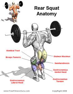 back-squat-muscles-diagram-235x3001.jpg