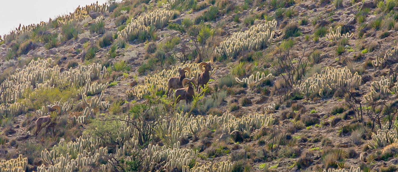 Desert-Bighorn-Sheep-four-rams-standing-on-hillside-1500.jpg