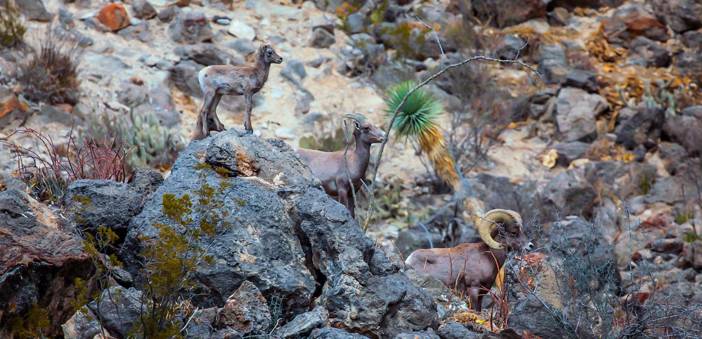 Desert-Bighorn-Sheep-Family-in-Mexico-1500.jpg