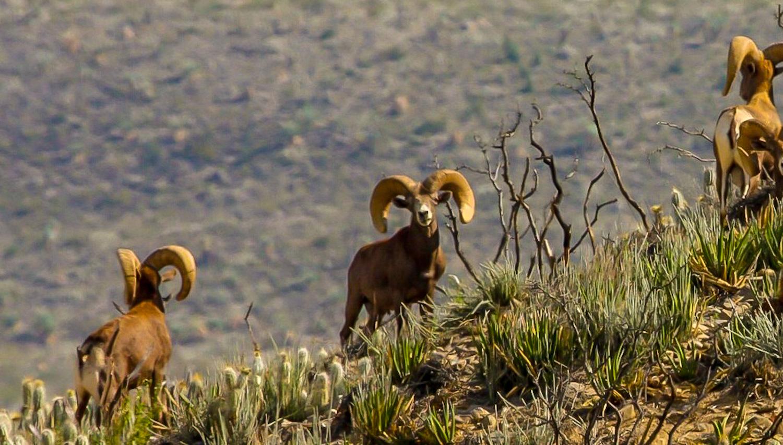 Desert Bighorn sheep rams peer across the arid brush
