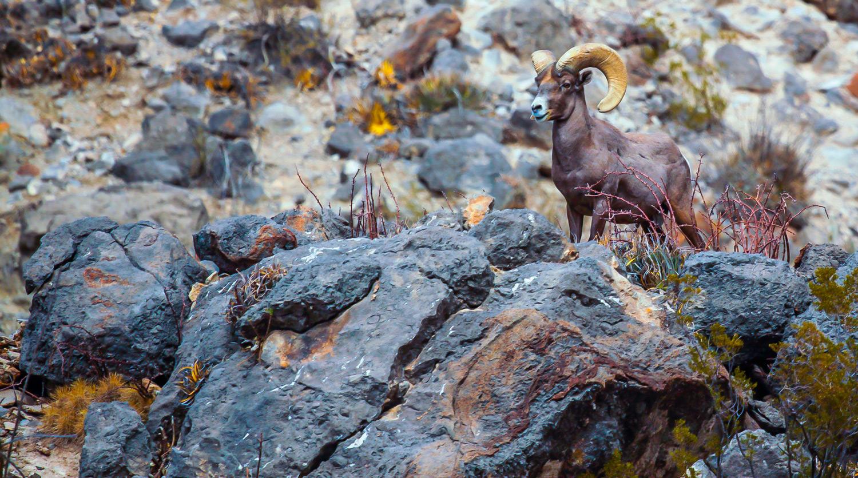 A Desert Bighorn ram stands sentry on a rock outcrop